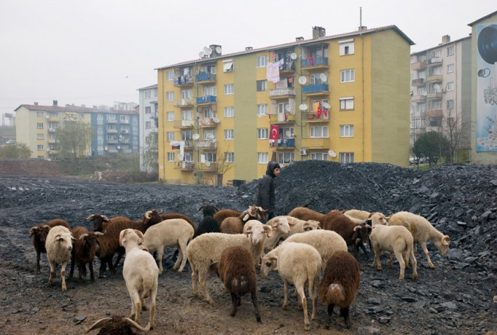 Sheep for the celebration of *Kurban Bayran* in Umraniye on the Asian side of Istanbul