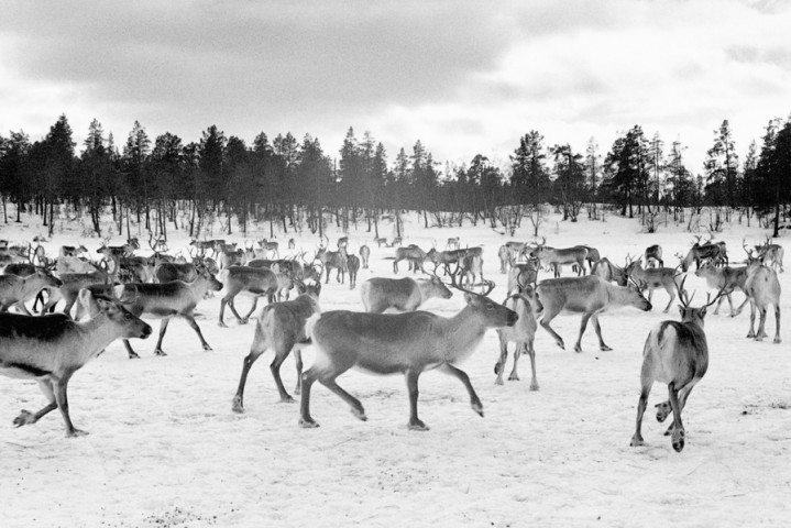 FINLAND - Reindeer herd neer Sevettijarvi