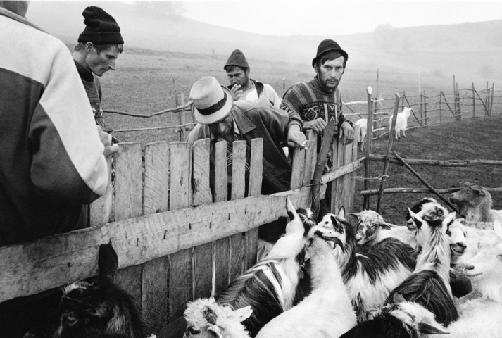 ROMANIA - counting sheep in Rozavlea at the border with Ukraine